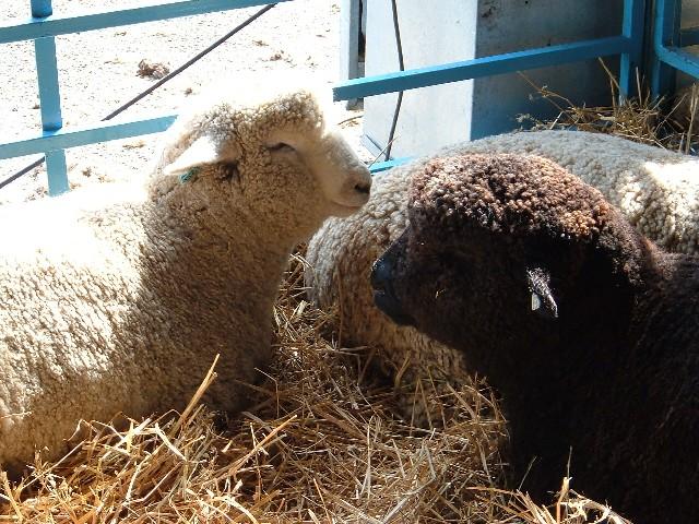 NYSW_sheep